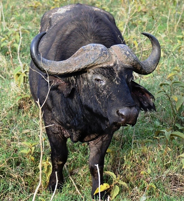 African Big 5 African Cape buffalo