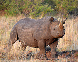 African Big 5 black rhinoceros