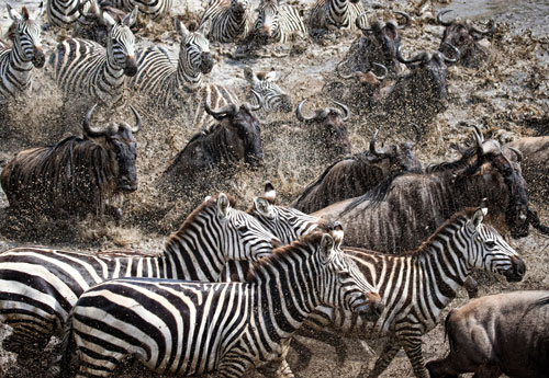 Zebras and wildebeest crossing during great migration
